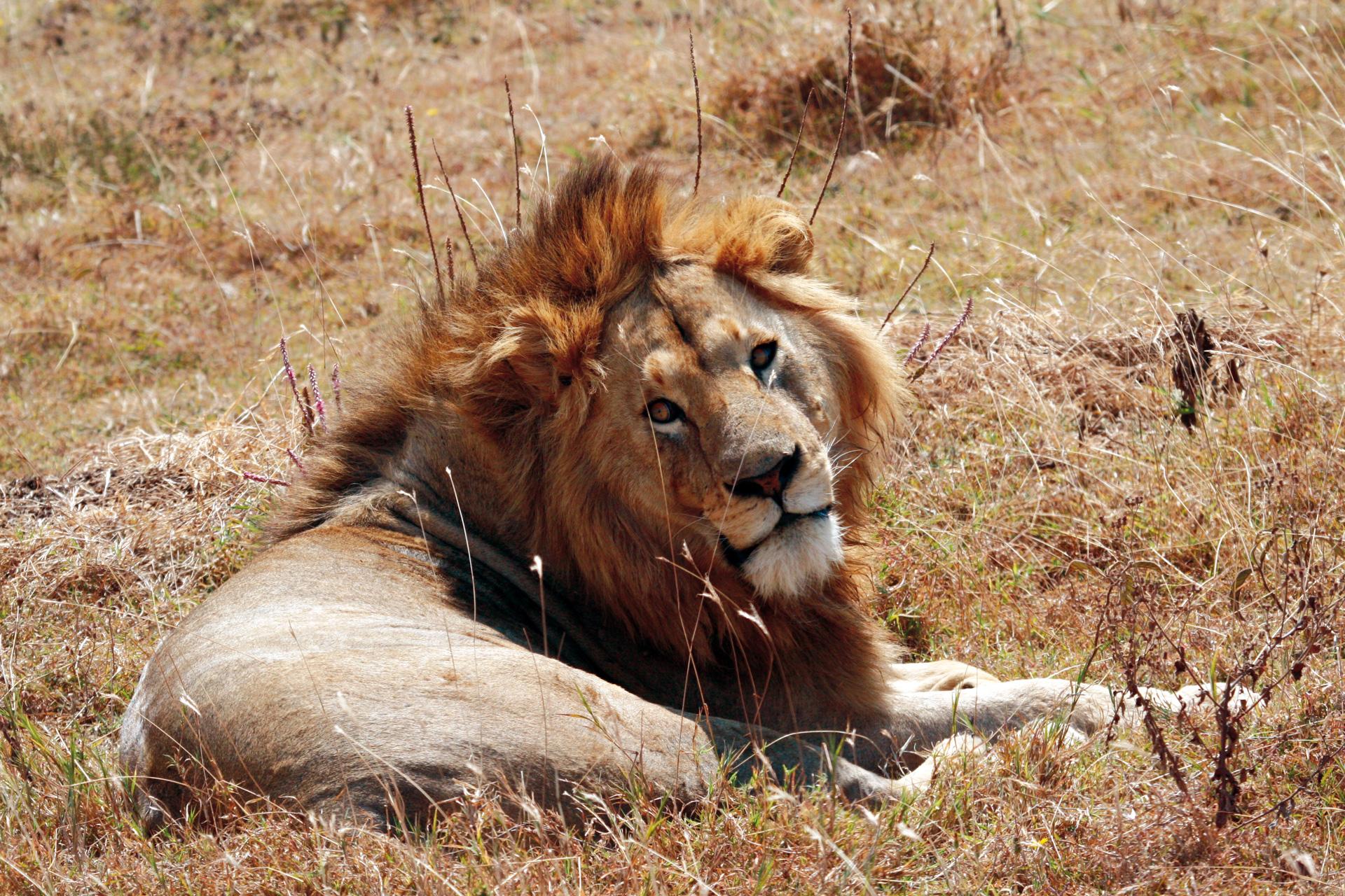 Löwenmännchen bei der Mittagspause