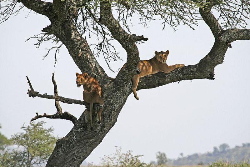Löwen bei der Mittagssiesta