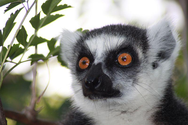 Madagaskar - Heimat der Lemuren