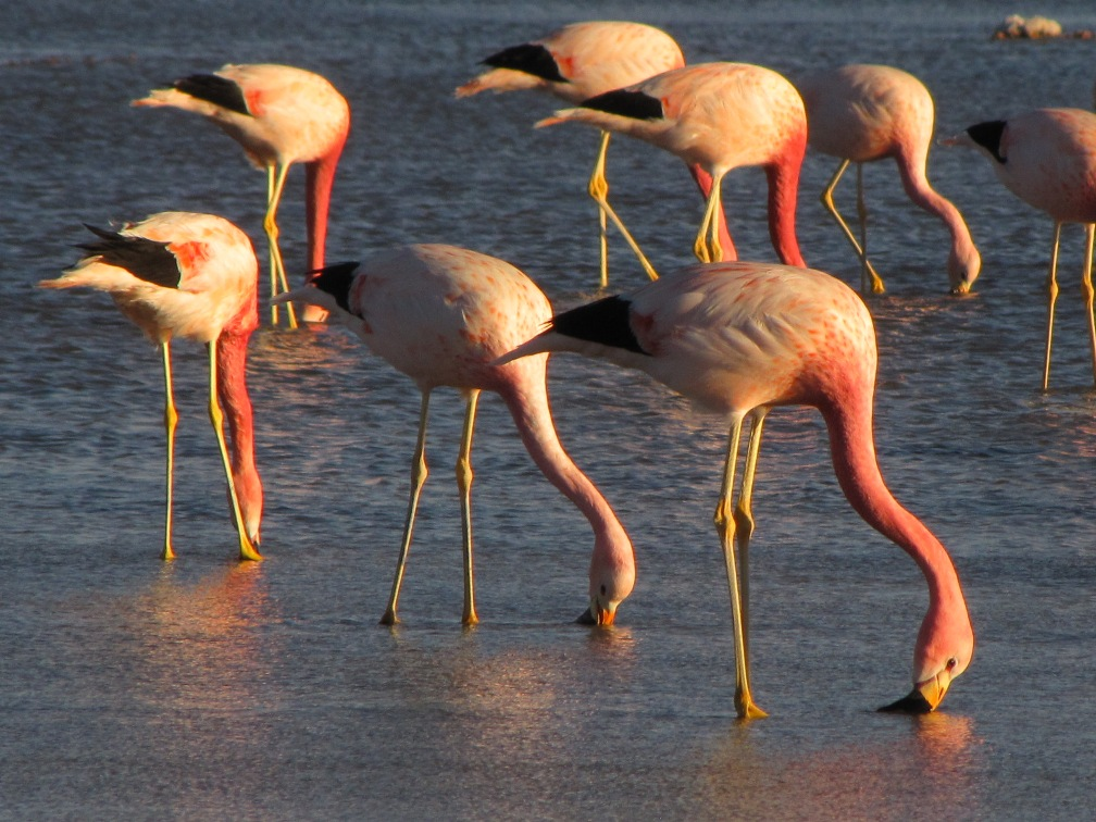 Anden-Flamingos im Salar de Atacama während unserer Chile Reise