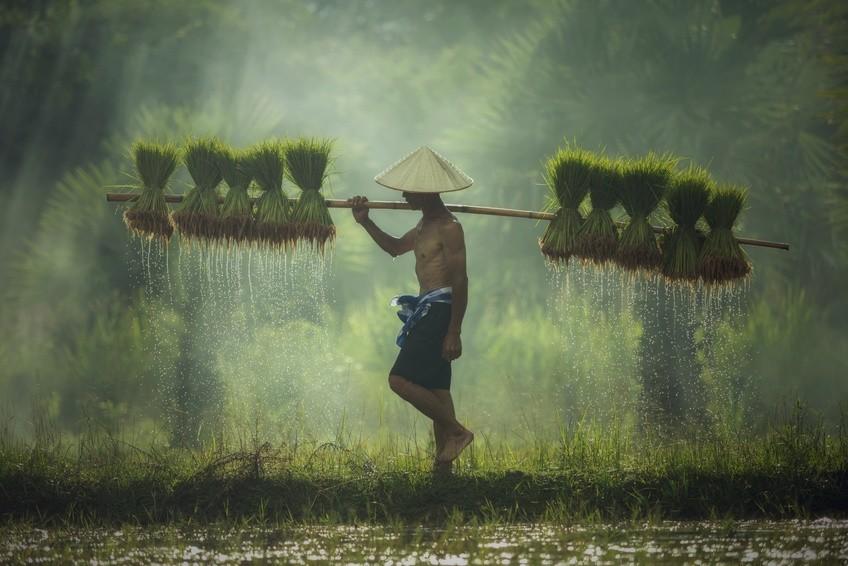 Reisbauer in Vietnam