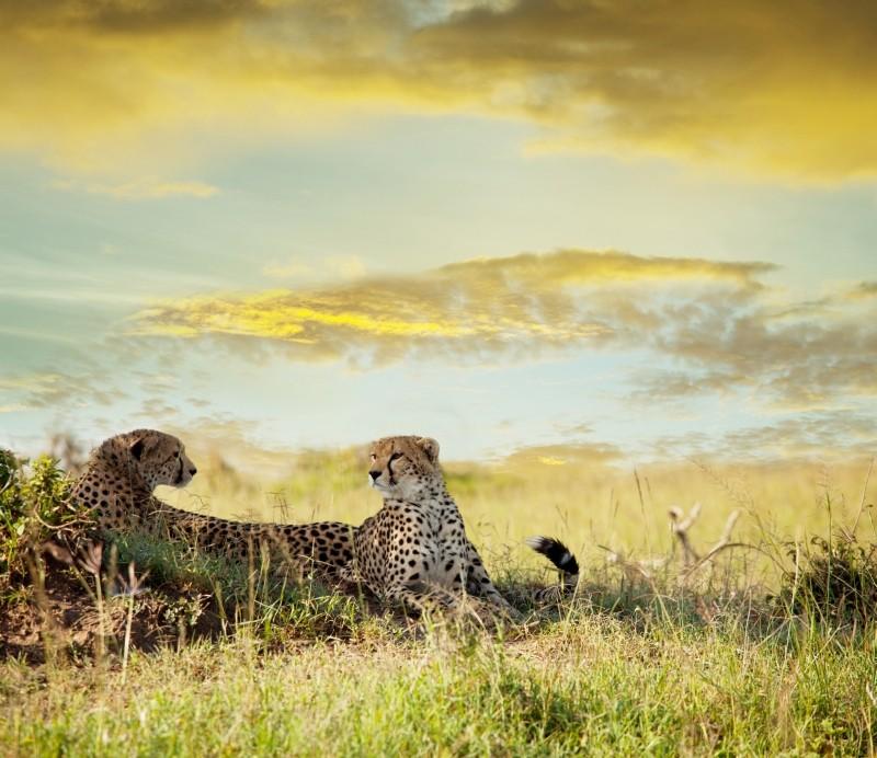 Geparden unter dem weiten Himmel Afrikas