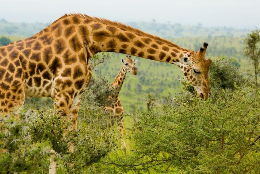 Begegnung mit Giraffen