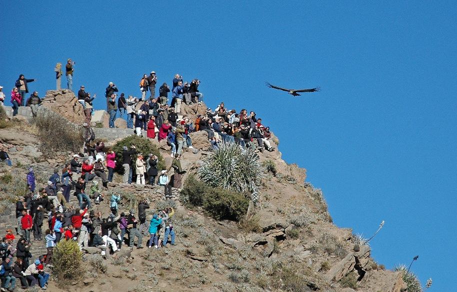 Der Andenkondor zieht seine Kreise über dem Colca-Canyon
