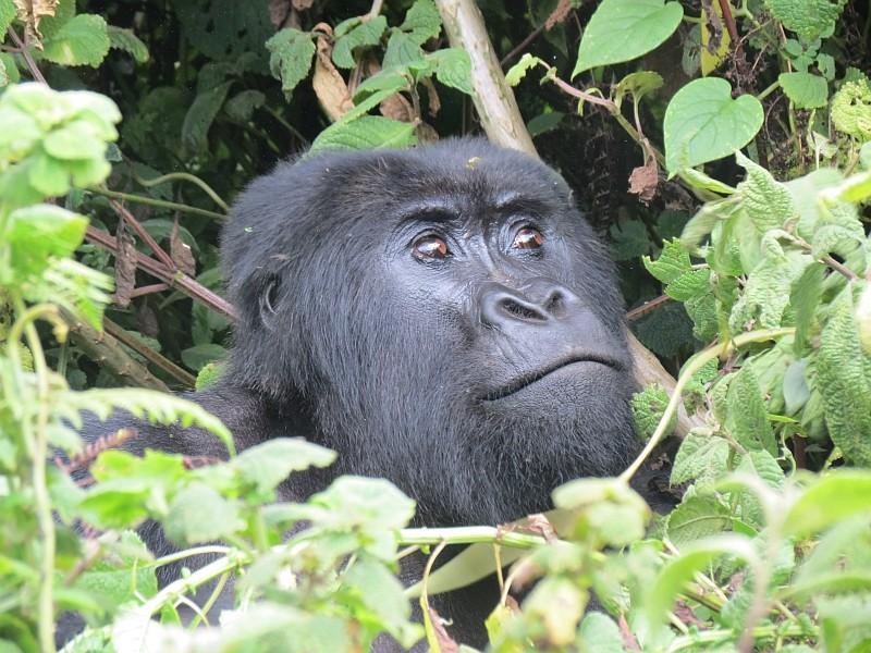 Auge in Auge mit den Berggorillas