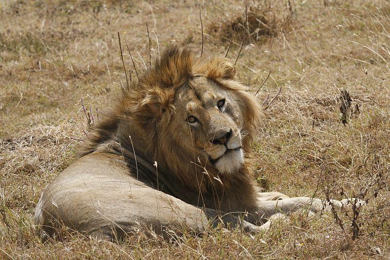 Ein Löwe ruht sich im Ngorongoro Krater aus
