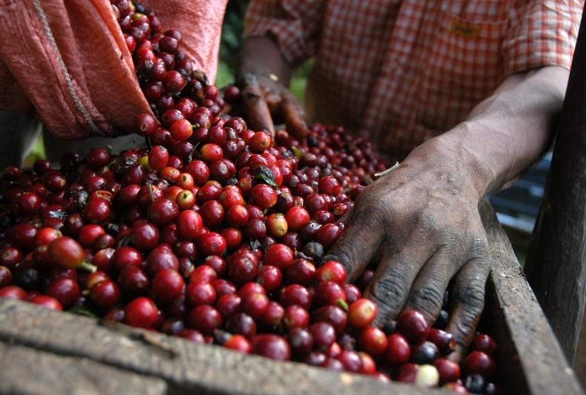 Kaffeebohnen werden geerntet in Guatemala