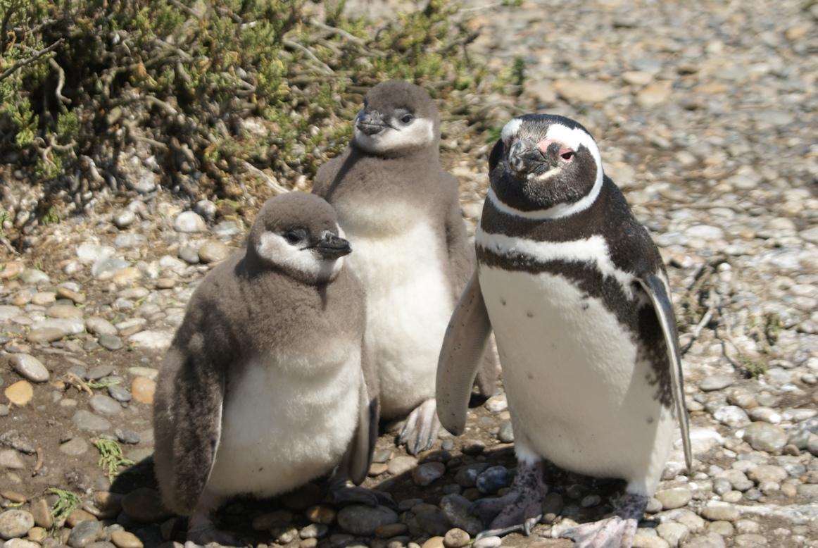 Magellanpinguine auf der Isla Magdalena während unserer Patagonien Rundreise