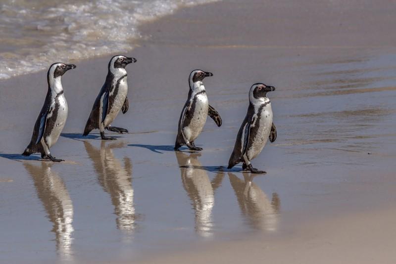 Pinguinkolonie bei Kapstadt