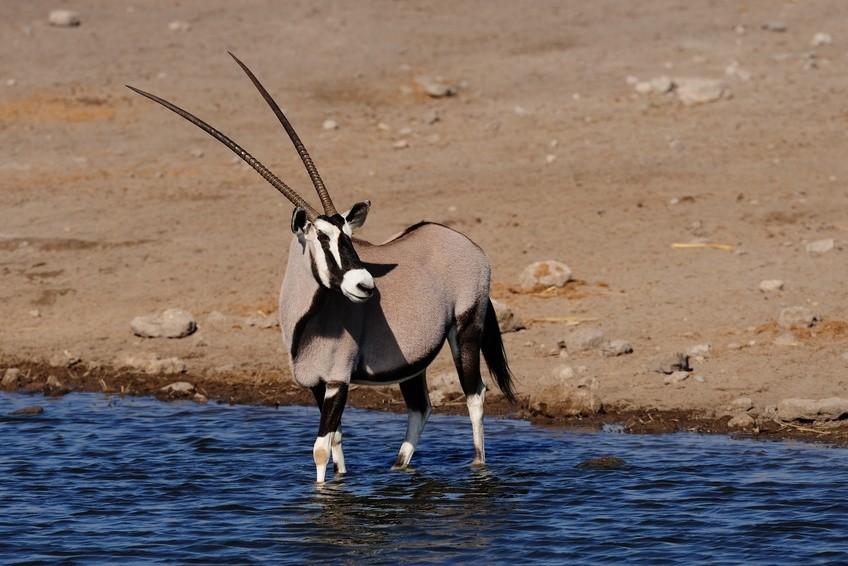 Eine Oryx-Antilope am Wasserloch