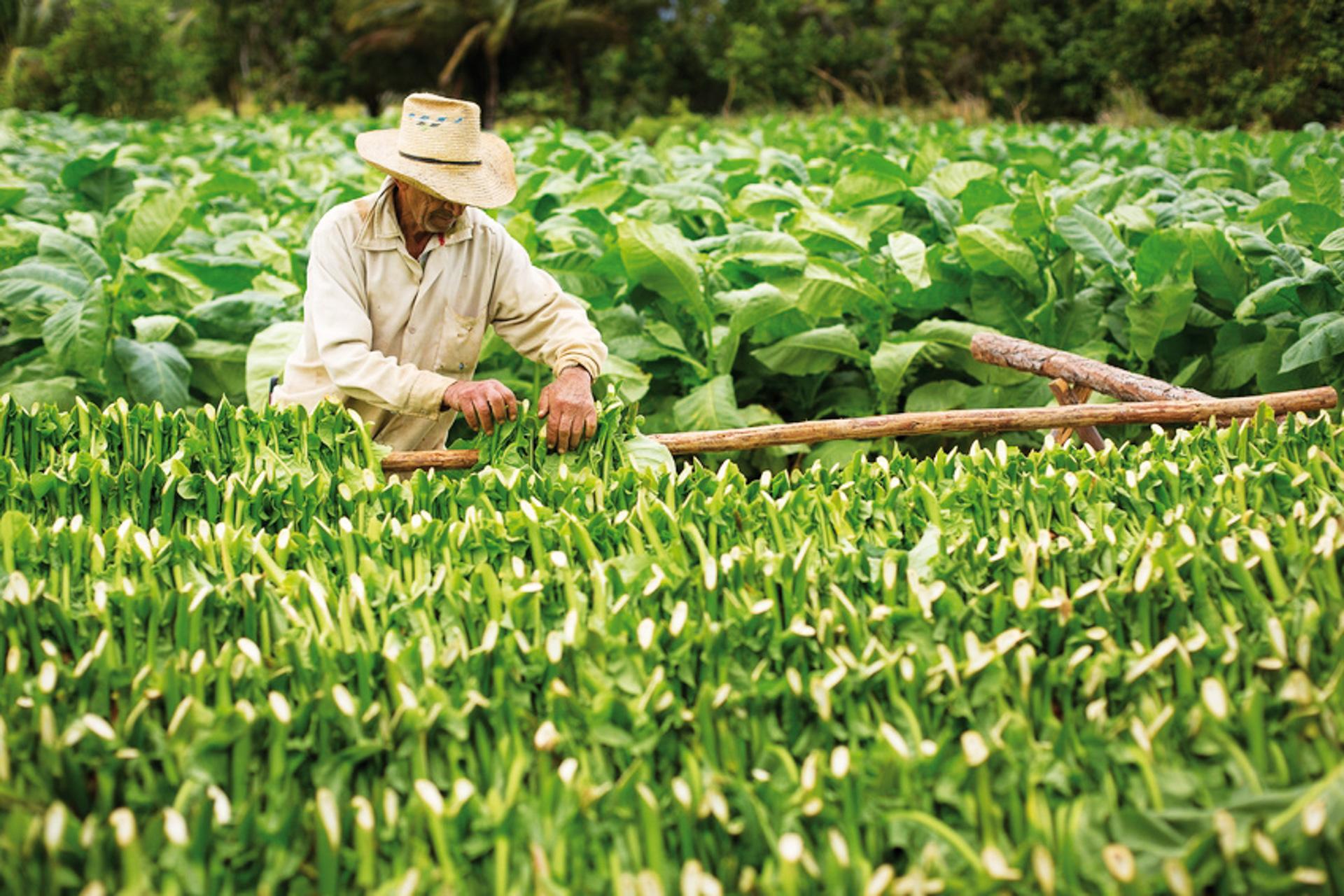 Tabakernte in Kuba