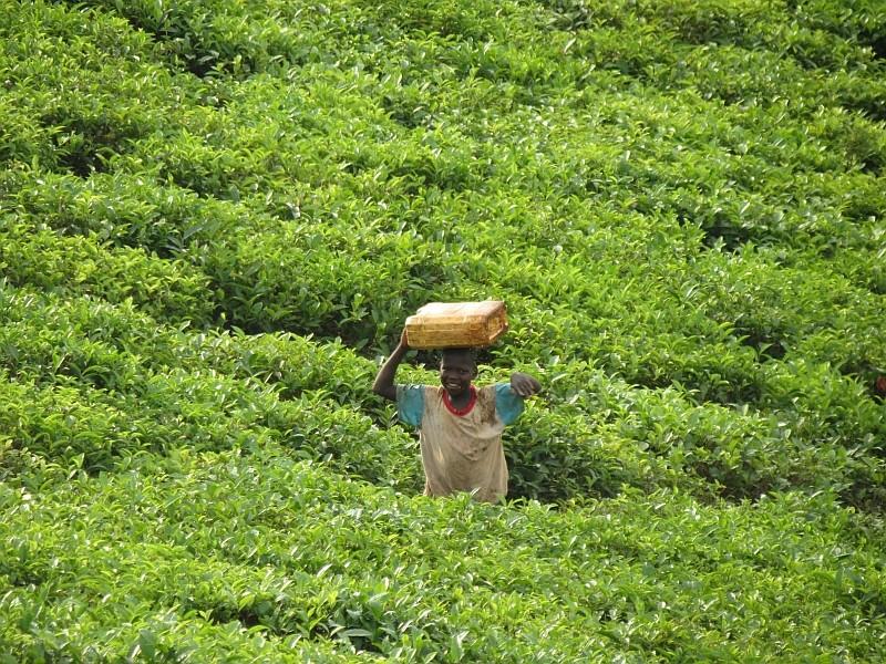 Teeplantage in Uganda