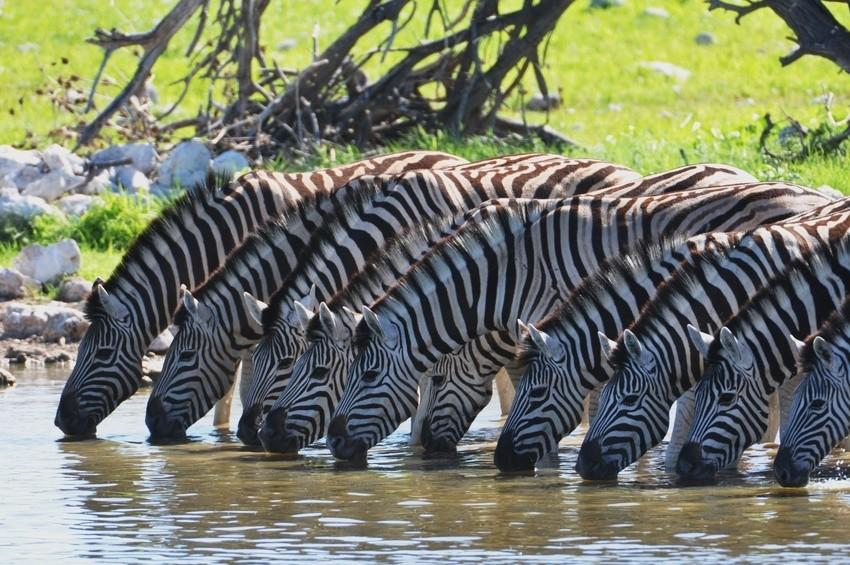 Zebras an einem Wasserloch im Etosha Nationalpark