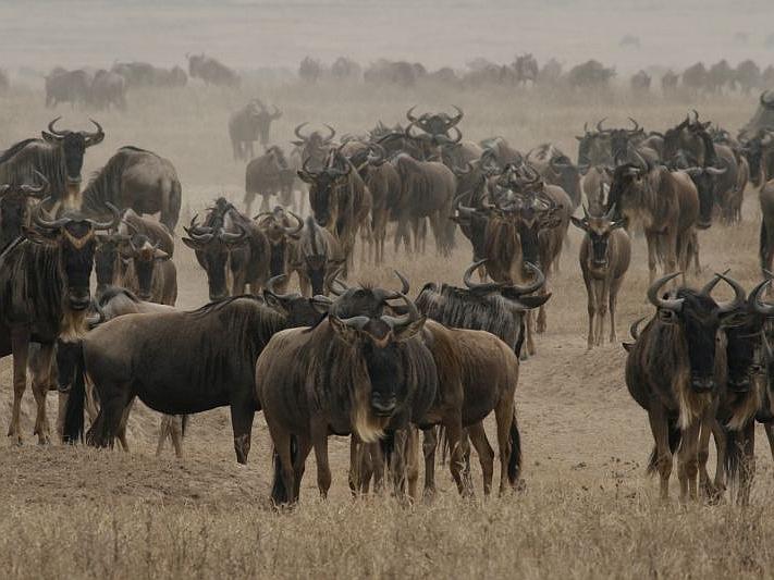Tierwanderung in der Serengeti