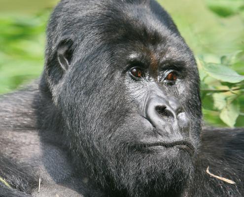 Gorillas hautnah