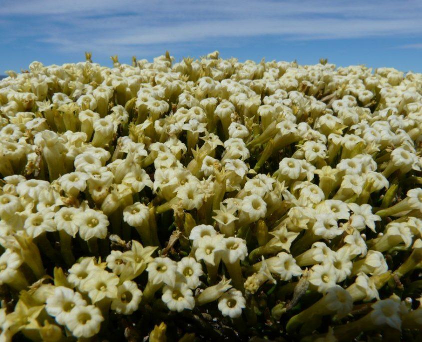 Blühende Pflanzen auf unserer Rundreise in Patagonien