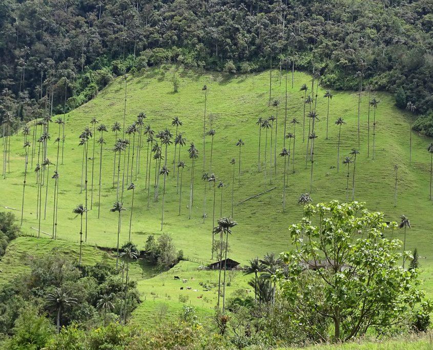 Zauberhaftes Cocora-Tal in der Kaffeezone Kolumbiens