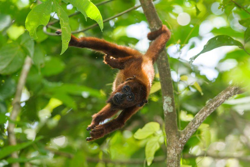 Roter Brüllaffe im Tambopata Naturschutzgebiet