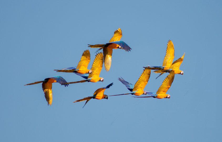 Gelb-blaue Aras im Flug auf unserer Amazoans Reise