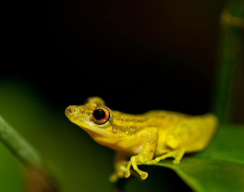 Grüner Baumfrosch im Tambopata Naturschutzgebiet
