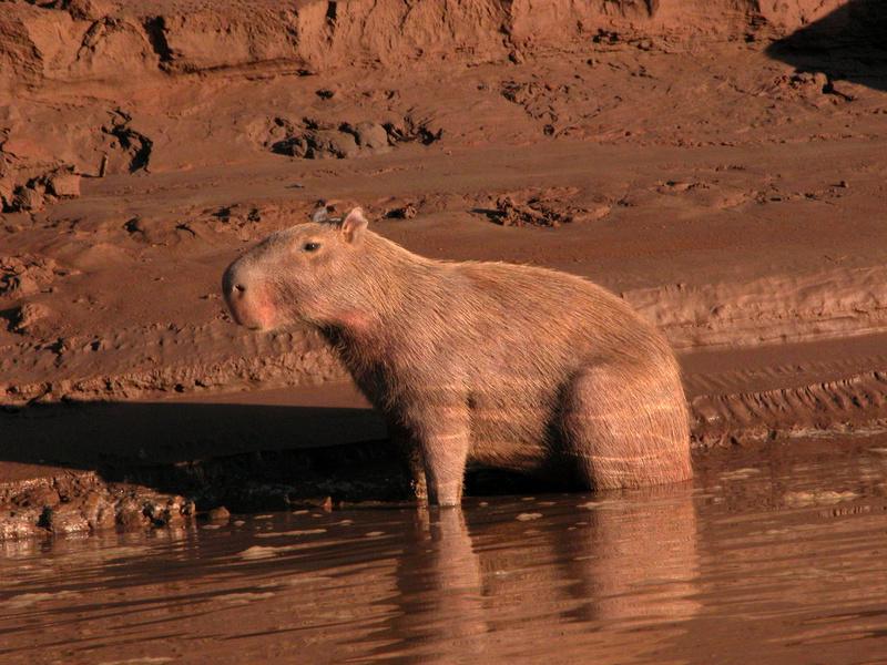 Wasserschwein auf unserer Amazonas Reise