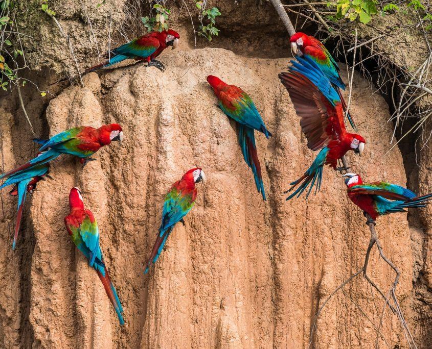 Papageiensalzlecke im Tambopata-Naturschutzgebiet in Peru