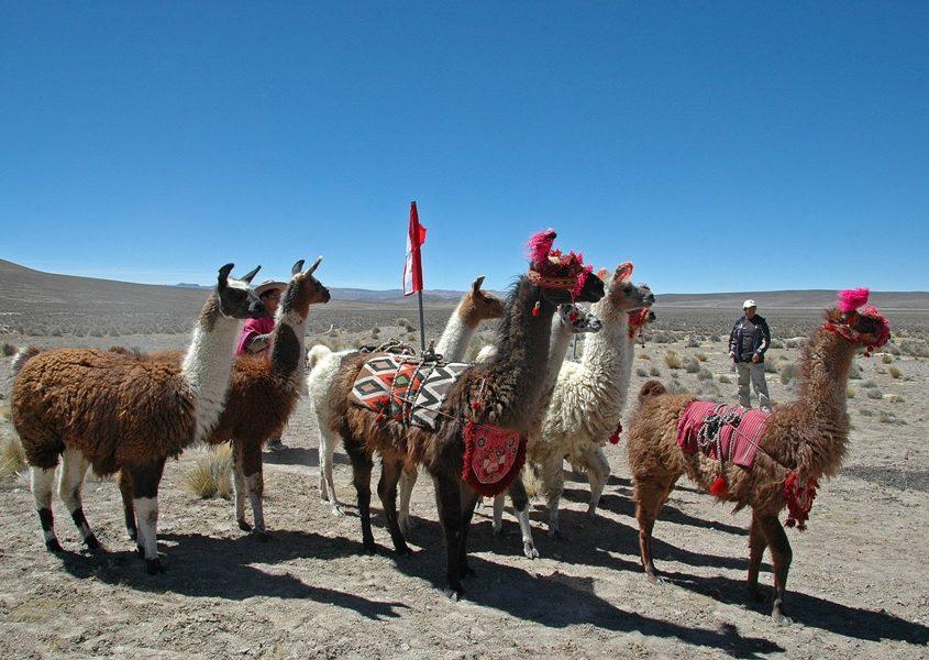 Geschmückte Lamas im Andenhochland