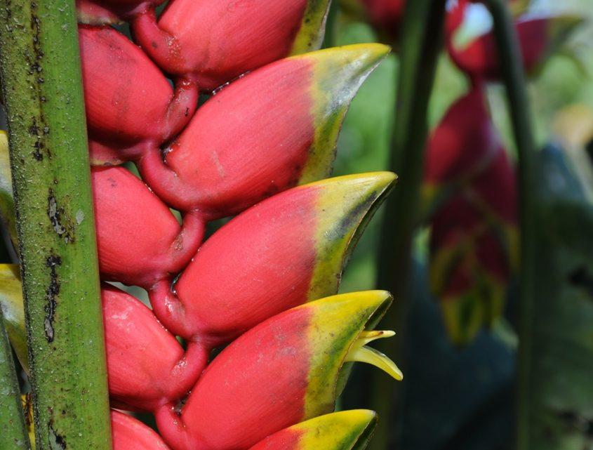 Helikonie im Amazonastiefland von Ecuador