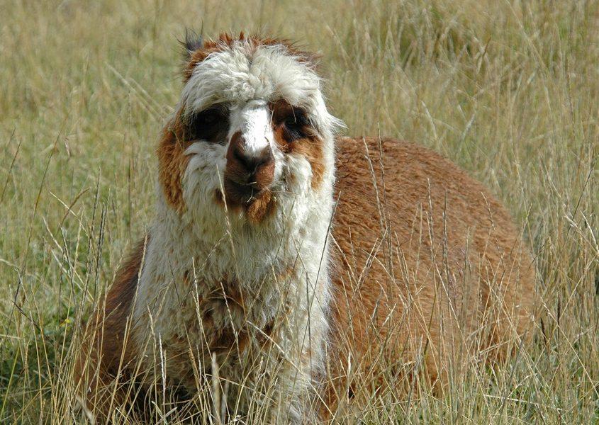 Lama im Andenhochland auf unserer Ecuador Reise