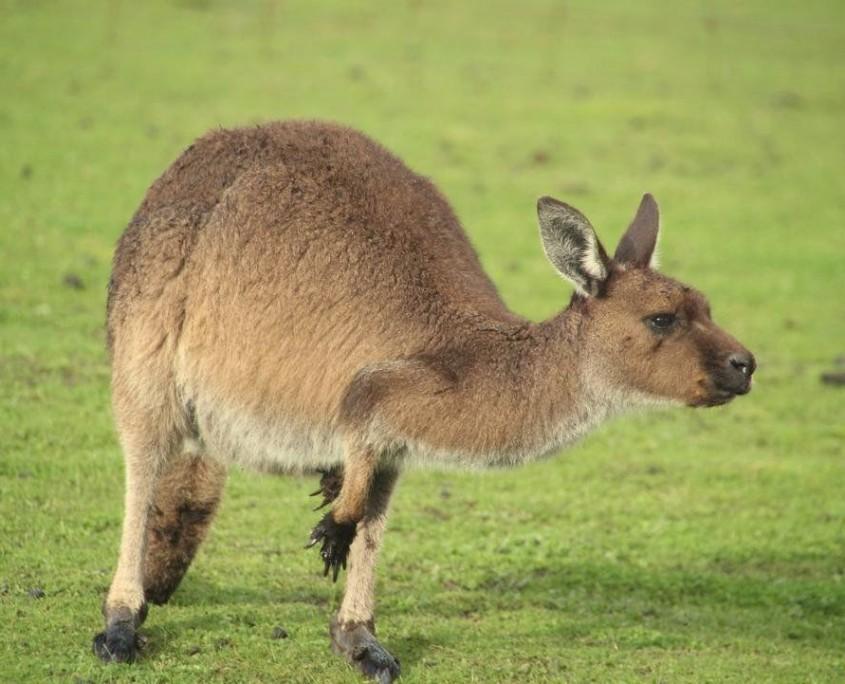 Muss man gesehen haben - Känguru