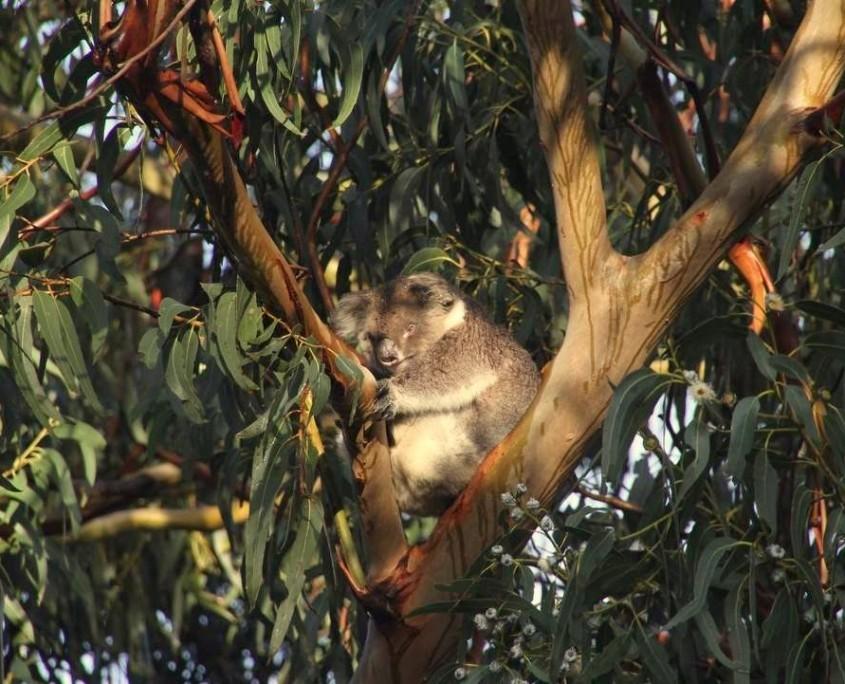 Typisch australisch - Koala im Eukalyptusbaum