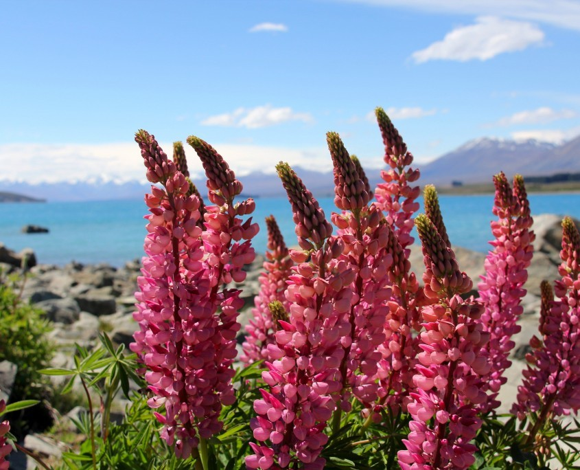 Schöne Lupinen am Lake Tekapo