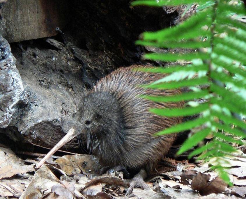 Kiwi - Nationalsymbol Neuseelands