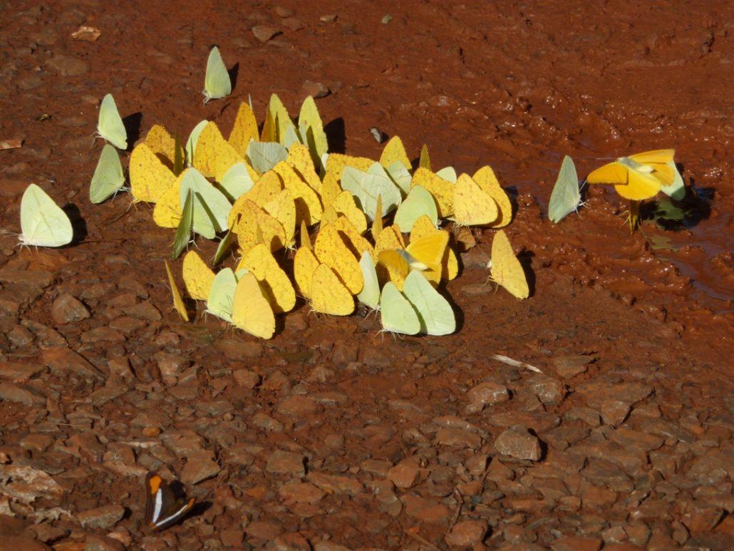 Schmetterlinge in Iguazu