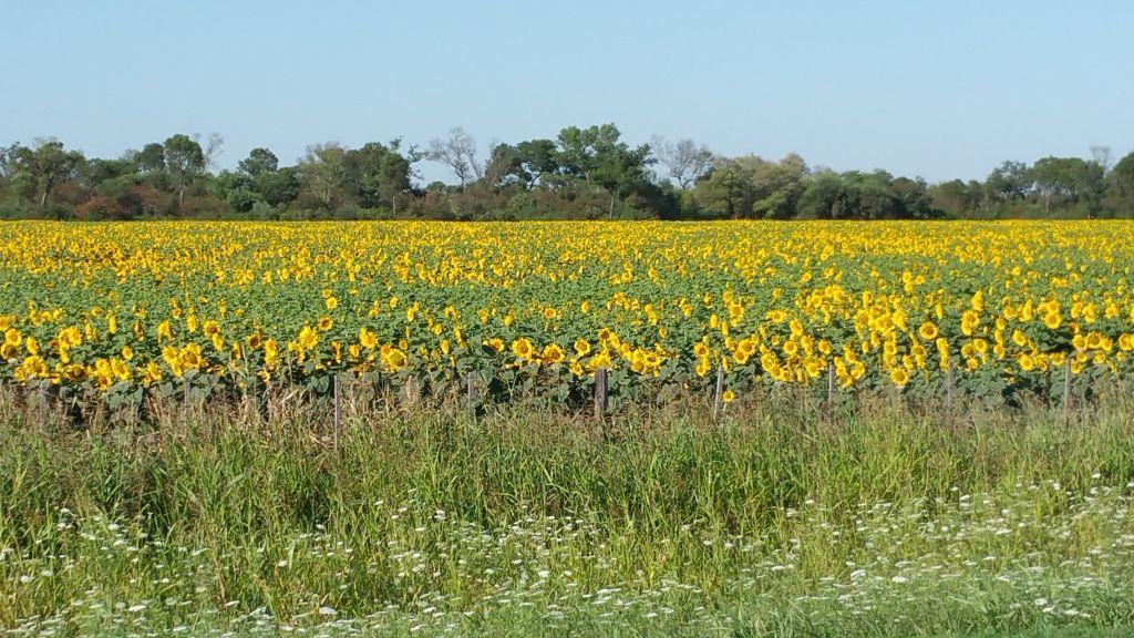 Sonnenblumen im Chaco